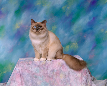 CAT 01 RK0513 02 © Kimball Stock Birman Blue Point Sitting Studio