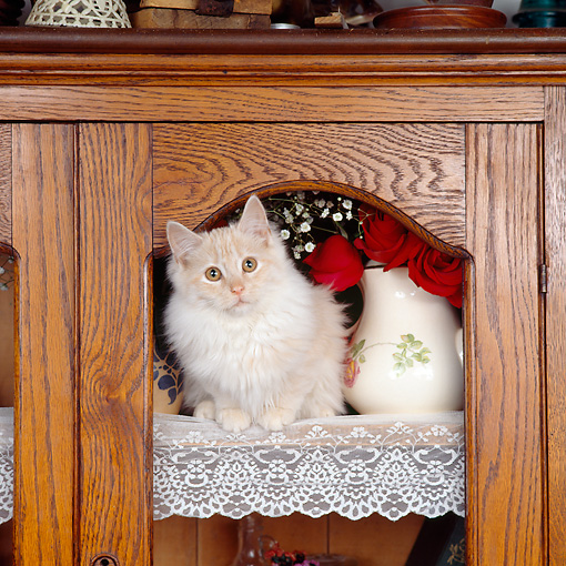 CAT 01 RS0004 01 © Kimball Stock Cream Tabby Cat Sitting In China Cabinet