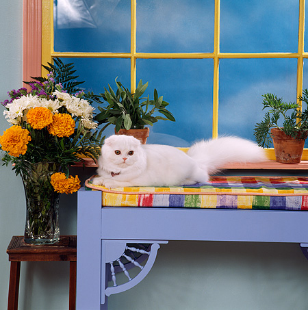 CAT 01 RS0016 11 © Kimball Stock White Scottish Fold On Bench By Window Plants And Flowers