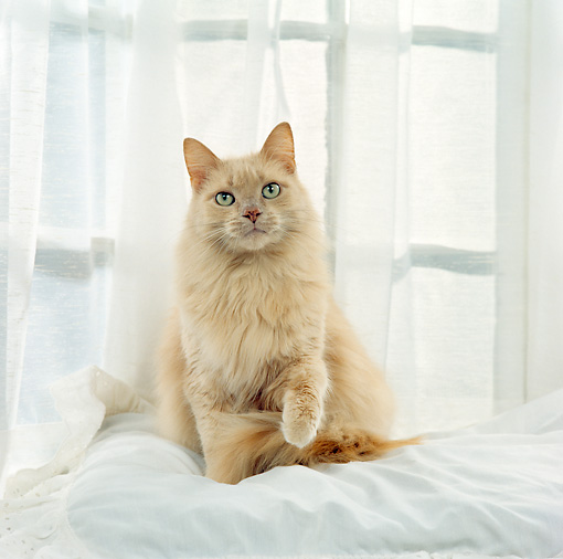 CAT 01 RS0035 03 © Kimball Stock Portrait Of Beige Cat Sitting By Window