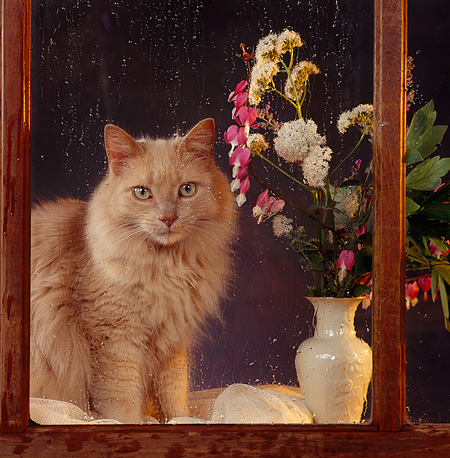 CAT 01 RS0054 02 © Kimball Stock Portrait Of Orange Cat Sitting By Rainy Window