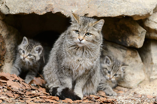 CAT 02 AC0005 01 © Kimball Stock Common Wildcat With Kittens Bavarian Forest, Germany