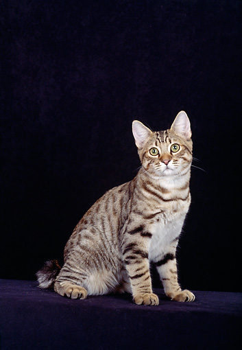 CAT 02 CH0001 01 © Kimball Stock American Bobtail Brown Tabby Cat Sitting In Studio