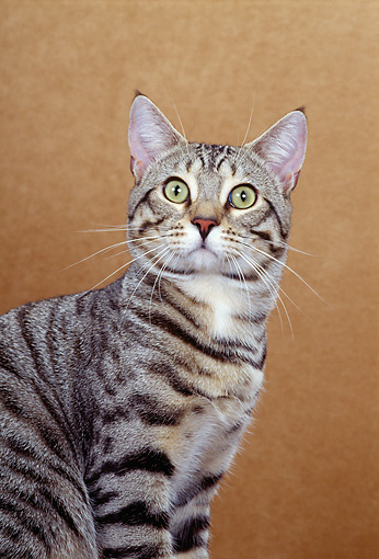CAT 02 CH0002 01 © Kimball Stock Close-Up Of American Bobtail Brown Tabby Cat Sitting In Studio