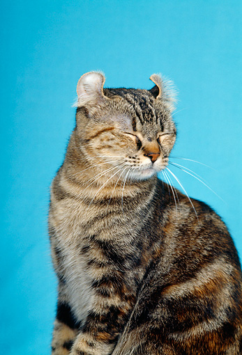 CAT 02 CH0003 01 © Kimball Stock American Bobtail Brown Torbie Sitting In Studio