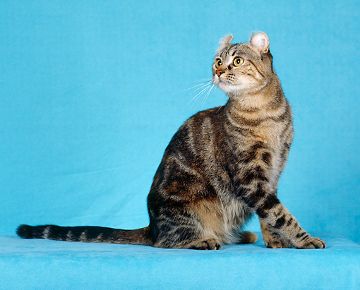CAT 02 CH0004 01 © Kimball Stock American Curl Brown Torbie Sitting In Studio