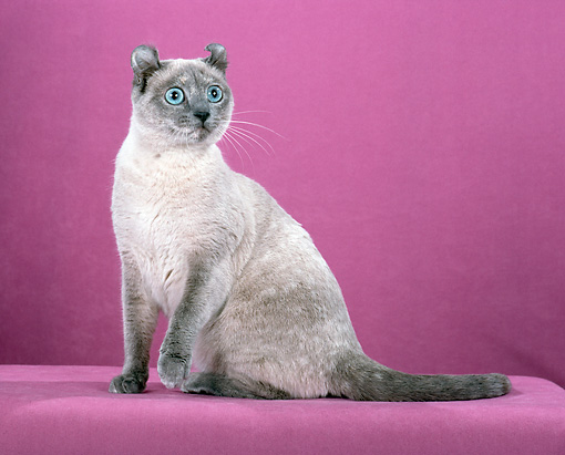 CAT 02 CH0005 01 © Kimball Stock American Curl Blue Tortie Point Sitting In Studio