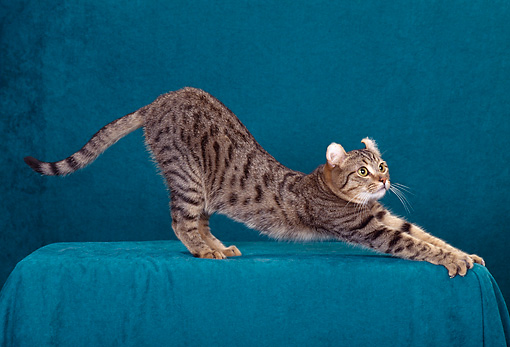 CAT 02 CH0007 01 © Kimball Stock American Curl Shorthair Brown Mackeral Tabby Stretching In Studio
