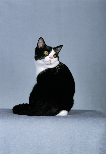 CAT 02 CH0012 01 © Kimball Stock Black And White American Shorthair Sitting In Studio