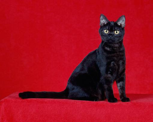 CAT 02 CH0013 01 © Kimball Stock Black American Shorthair Sitting In Studio
