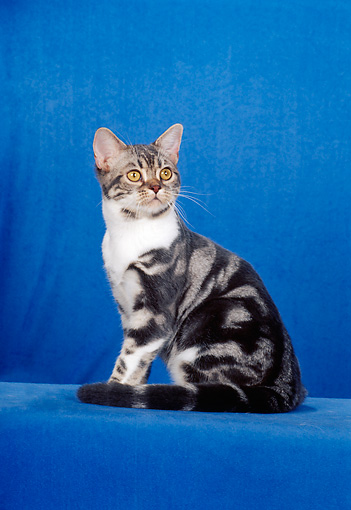 CAT 02 CH0015 01 © Kimball Stock Classic Blue American Shorthair Tabby Sitting In Studio