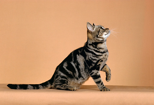 CAT 02 CH0018 01 © Kimball Stock Classic Brown And White American Shorthair Tabby Sitting In Studio