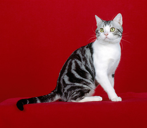 CAT 02 CH0020 01 © Kimball Stock Silver And White American Shorthair Tabby Sitting In Studio