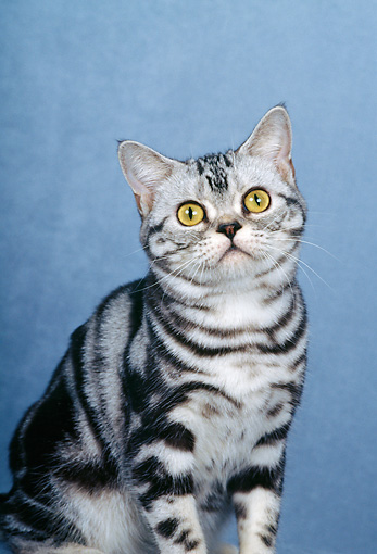 CAT 02 CH0025 01 © Kimball Stock Silver Classic American Shorthair Tabby Sitting In Studio