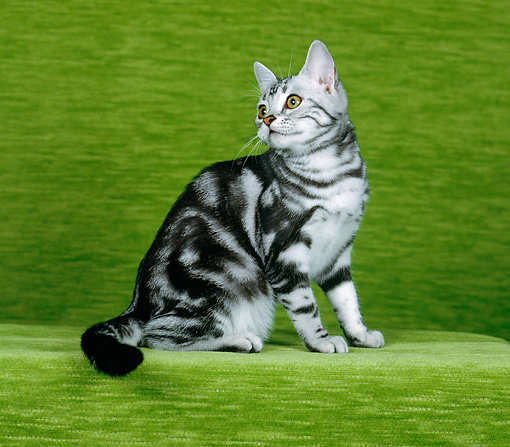CAT 02 CH0027 01 © Kimball Stock Silver Classic American Shorthair Tabby Sitting In Studio