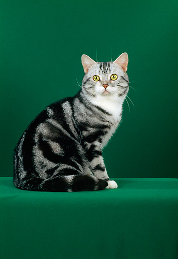 CAT 02 CH0028 01 © Kimball Stock Silver American Shorthair Tabby Sitting In Studio