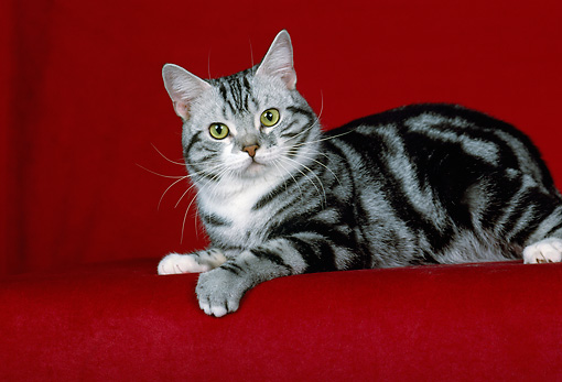 CAT 02 CH0030 01 © Kimball Stock Silver American Shorthair Tabby Laying In Studio