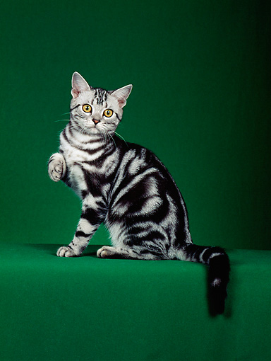 CAT 02 CH0031 01 © Kimball Stock Silver American Shorthair Tabby Sitting In Studio With Paw Up