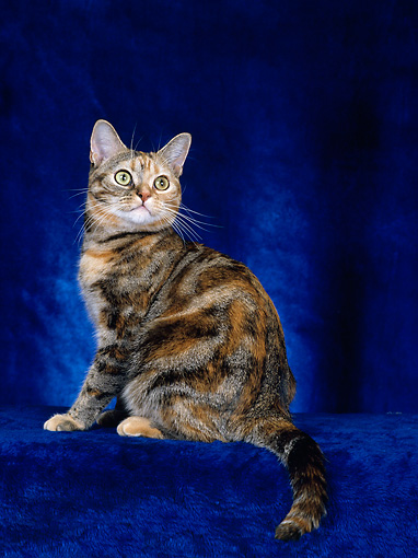 CAT 02 CH0033 01 © Kimball Stock American Shorthair Tabby Sitting In Studio