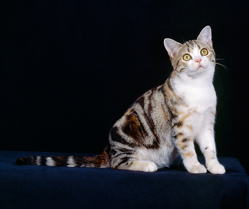 CAT 02 CH0036 01 © Kimball Stock American Shorthair Tabby Sitting In Studio
