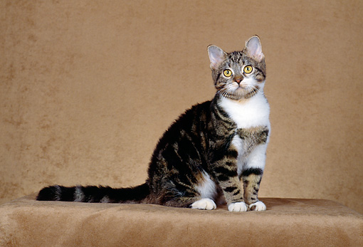 CAT 02 CH0038 01 © Kimball Stock American Shorthair Tabby Sitting In Studio