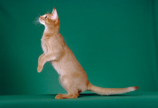CAT 02 CH0039 01 © Kimball Stock Red Abyssinian Sitting Upright In Green Studio
