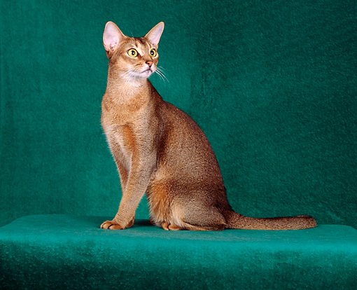 CAT 02 CH0042 01 © Kimball Stock Ruddy Abyssinian Sitting In Green Studio