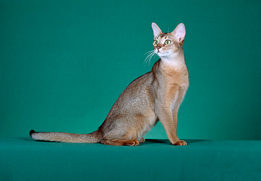 CAT 02 CH0043 01 © Kimball Stock Ruddy Abyssinian Sitting In Green Studio