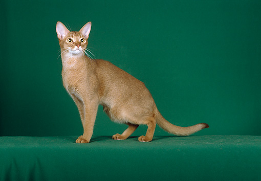 CAT 02 CH0044 01 © Kimball Stock Ruddy Abyssinian Sitting In Green Studio