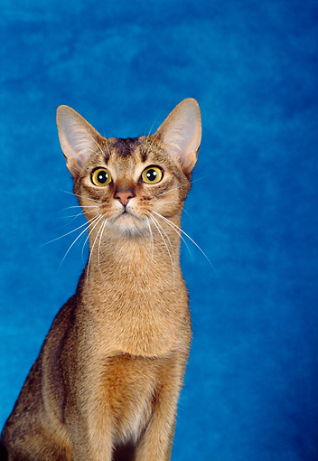 CAT 02 CH0045 01 © Kimball Stock Close-Up Of Ruddy Abyssinian Sitting In Blue Studio