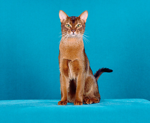 CAT 02 CH0046 01 © Kimball Stock Ruddy Abyssinian Sitting In Teal Blue Studio