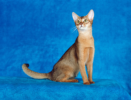 CAT 02 CH0047 01 © Kimball Stock Ruddy Abyssinian Sitting In Teal Blue Studio