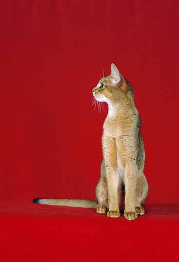 CAT 02 CH0048 01 © Kimball Stock Ruddy Abyssinian Sitting In Red Studio