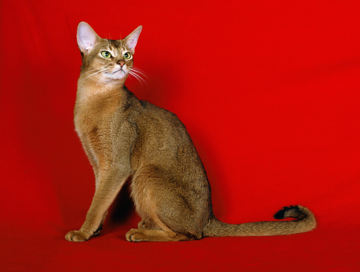 CAT 02 CH0049 01 © Kimball Stock Ruddy Abyssinian Sitting In Red Studio