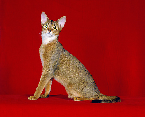 CAT 02 CH0050 01 © Kimball Stock Ruddy Abyssinian Sitting In Red Studio