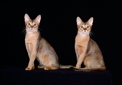 CAT 02 CH0051 01 © Kimball Stock Ruddy Abyssinians Sitting In Black Studio