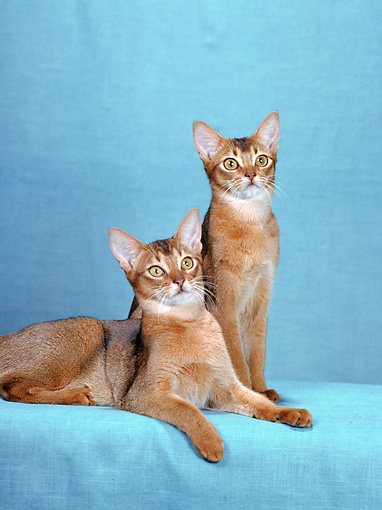 CAT 02 CH0052 01 © Kimball Stock Ruddy Abyssinians In Blue Studio