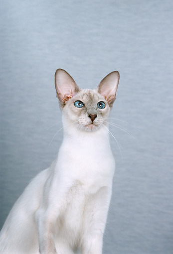 CAT 02 CH0053 01 © Kimball Stock Balinese Lilac Point Sitting In Blue Studio