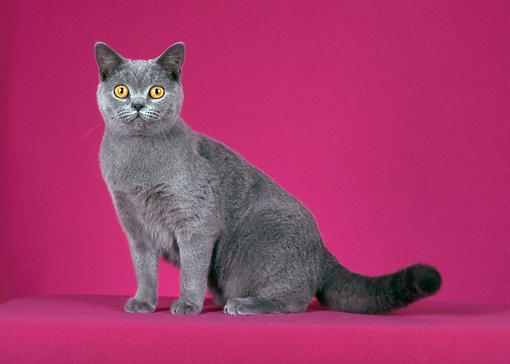 CAT 02 CH0055 01 © Kimball Stock Blue British Shorthair Sitting In Pink Studio