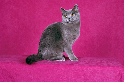 CAT 02 CH0056 01 © Kimball Stock Blue British Shorthair Sitting In Pink Studio