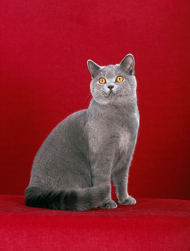 CAT 02 CH0057 01 © Kimball Stock Blue British Shorthair Sitting In Red Studio