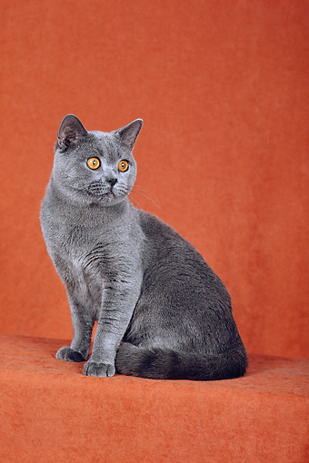 CAT 02 CH0059 01 © Kimball Stock Blue British Shorthair Sitting In Rust Studio