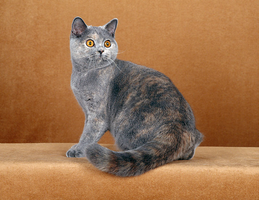 CAT 02 CH0060 01 © Kimball Stock Blue And Cream British Shorthair Sitting In Rust Studio
