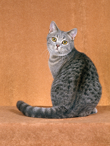 CAT 02 CH0061 01 © Kimball Stock British Shorthair Blue Spotted Tabby Sitting In Rust Studio Looking Back