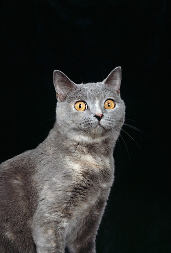CAT 02 CH0063 01 © Kimball Stock Close-Up Of Blue And Cream British Shorthair Sitting In Black Studio