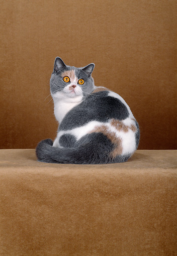 CAT 02 CH0064 01 © Kimball Stock British Shorthair Dilute Calico Sitting In Rust Studio Looking Back