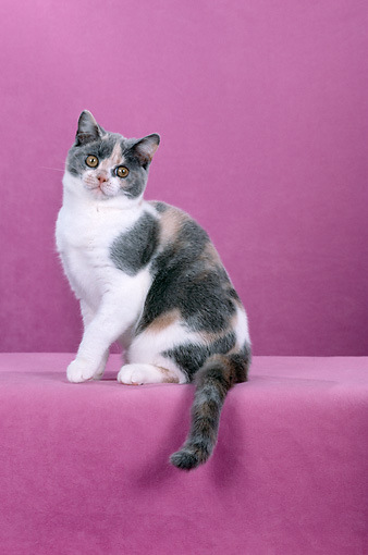 CAT 02 CH0065 01 © Kimball Stock British Shorthair Dilute Calico Sitting In Pink Studio