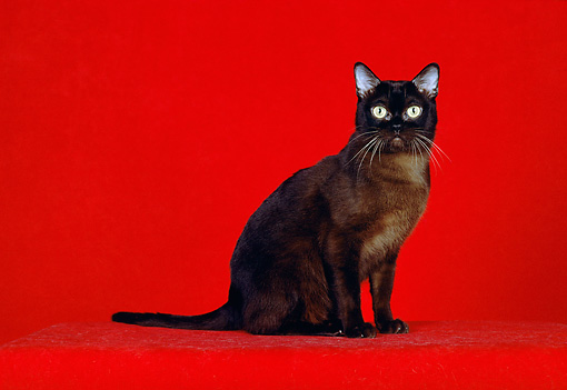 CAT 02 CH0066 01 © Kimball Stock Sable Burmese Cat Sitting In Red Studio