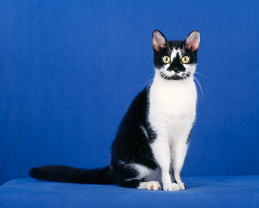 CAT 02 CH0069 01 © Kimball Stock Black And White American Wirehair Sitting In Blue Studio