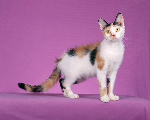 CAT 02 CH0070 01 © Kimball Stock Calico American Wirehair Standing In Pink Studio